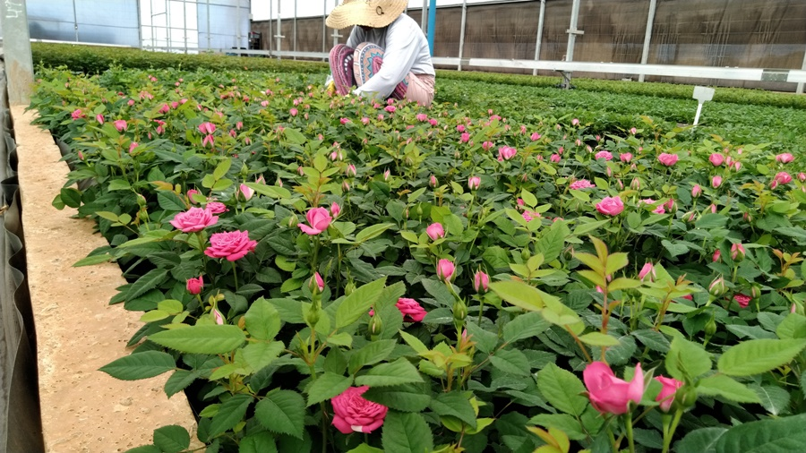 Flores para Finados devem crescer em faturamento, mesmo com redução do volume