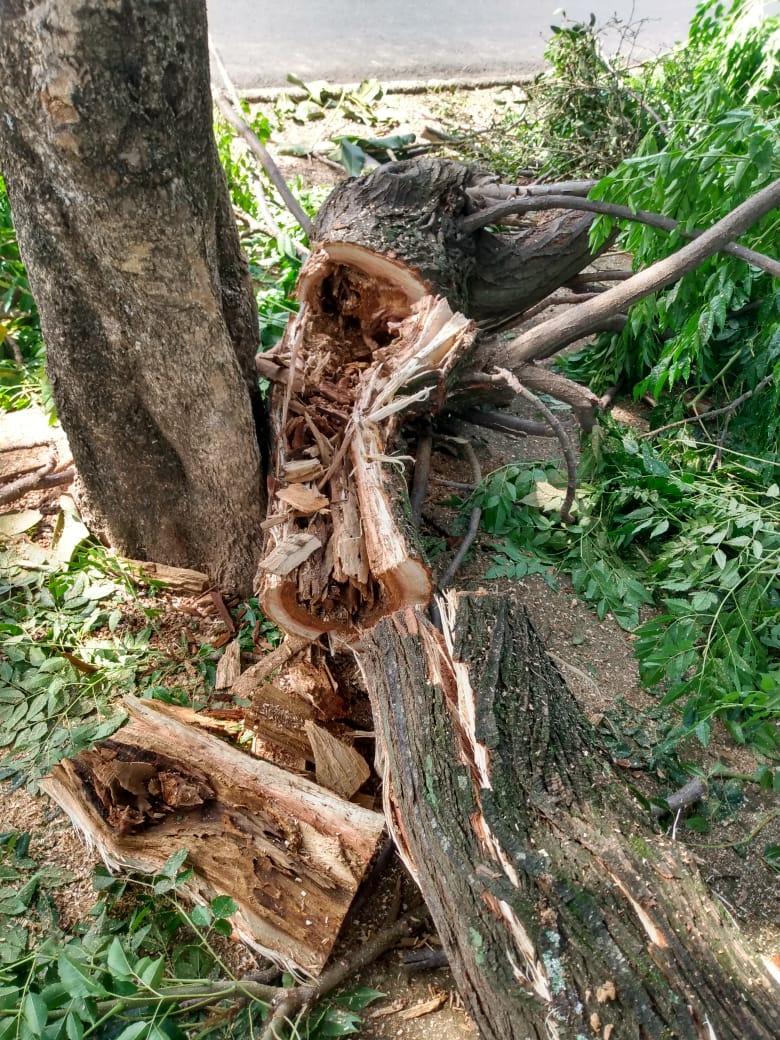 Pedreira registra queda de 12 árvores após chuva forte na terça-feira, 26 de janeiro