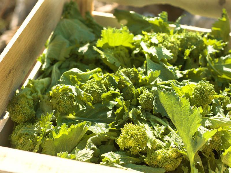Cultivo inédito de Cime di Rapa (brócolis de origem italiana) rende seu primeiro lote de antepastos genuinamente produzidos no Brasil